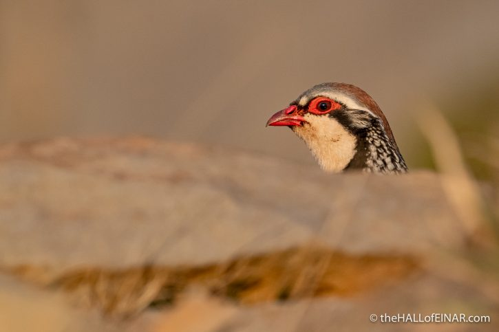 Red-Legged Partridge - Madeira - The Hall of Einar - photograph (c) David Bailey (not the)