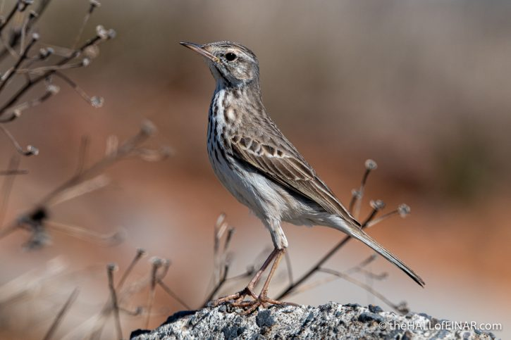 Bertelot's Pipit - Madeira - The Hall of Einar - photograph (c) David Bailey (not the)