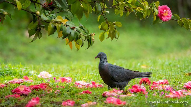 Trocaz Pigeon - The Hall of Einar - photograph (c) David Bailey (not the)
