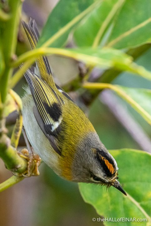 Madeira Firecrest - The Hall of Einar - photograph (c) David Bailey (not the)