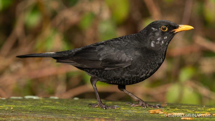 Blackbird at Stover - The Hall of Einar - photograph (c) David Bailey (not the)