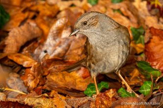 Dunnock at Stover - The Hall of Einar - photograph (c) David Bailey (not the)
