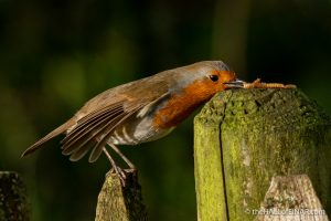 Robin at Stover - The Hall of Einar - photograph (c) David Bailey (not the)
