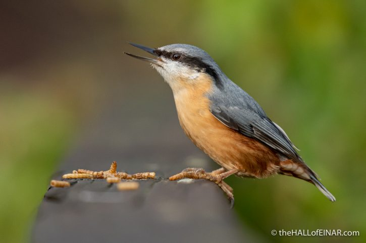 Nuthatch at Stover - The Hall of Einar - photograph (c) David Bailey (not the)