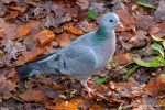 Stock Dove at Stover - The Hall of Einar - photograph (c) David Bailey (not the)
