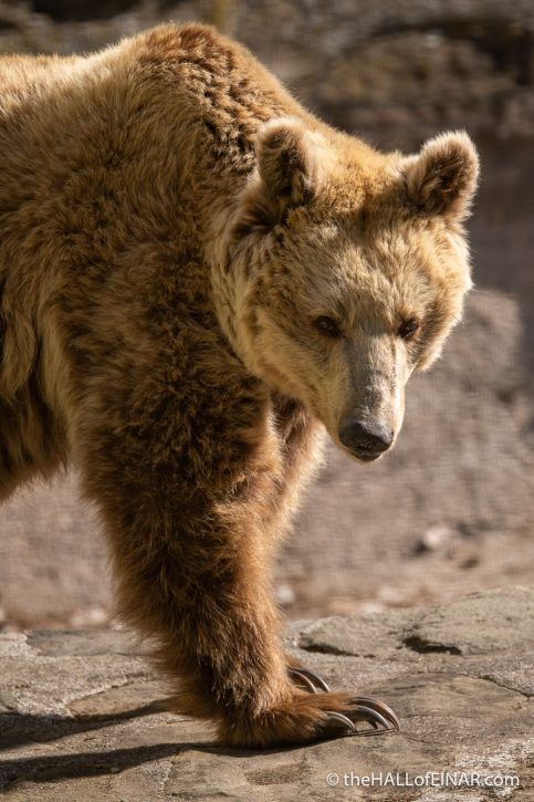 Brown Bear - Orecchiella - The Hall of Einar - photograph (c) David Bailey (not the)