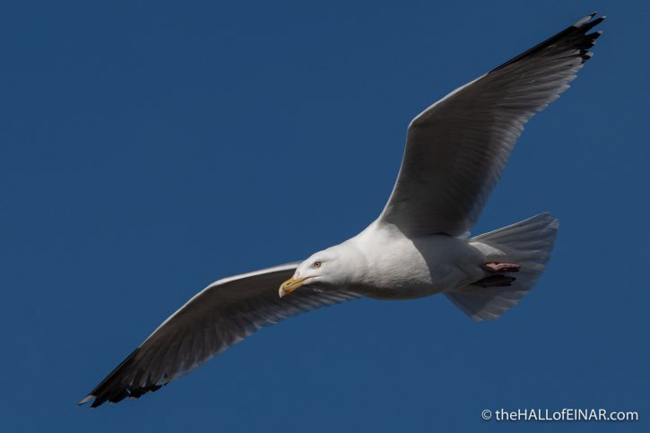 Herring Gull - Town Quay - The Hall of Einar - photograph (c) David Bailey (not the)