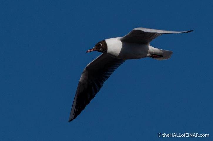 Black Headed Gull - Town Quay - The Hall of Einar - photograph (c) David Bailey (not the)