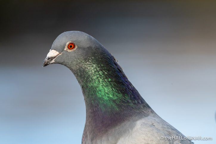 Feral Pigeon - Town Quay - The Hall of Einar - photograph (c) David Bailey (not the)