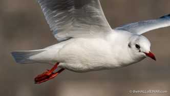 Black Headed Gull - Town Quay - The Hall of Einar - photograph (c) David Bailey (not the)