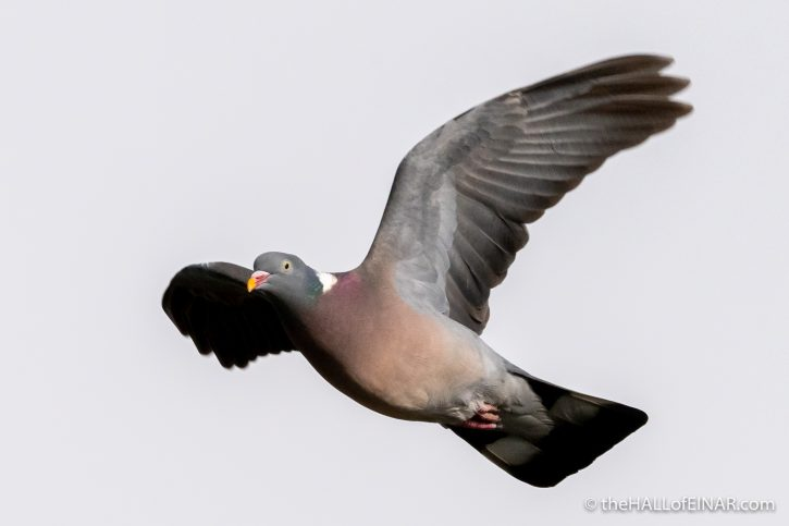 Wood Pigeon - The Hall of Einar - photograph (c) David Bailey (not the)
