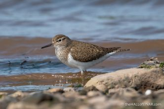 Common Sandpiper - The Hall of Einar - photograph (c) David Bailey