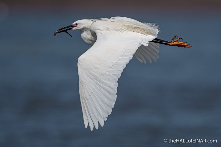 Little Egret - River Teign - The Hall of Einar - photograph (c) David Bailey (not the)