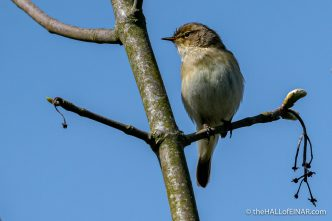 Chiffchaff - The Hall of Einar - photograph (c) David Bailey