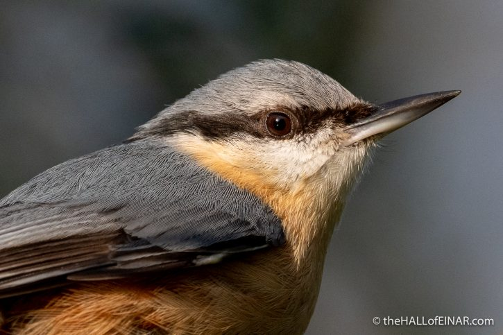 Nuthatch - Stover - The Hall of Einar - photograph (c) David Bailey (not the)