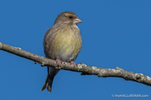 Greenfinch - The Hall of Einar - photograph (c) David Bailey (not the)