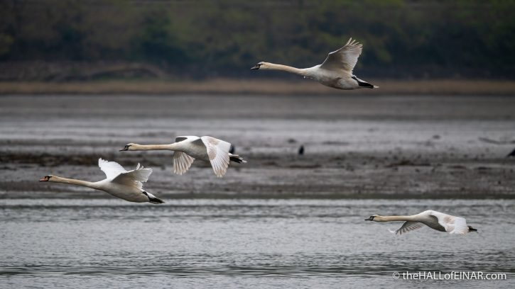 Mute Swans - River Teign - The Hall of Einar - photograph (c) David Bailey (not the)