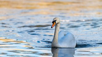 Mute Swan - The Hall of Einar - photograph (c) David Bailey (not the)