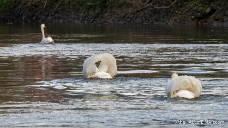Mute Swans - The Hall of Einar - photograph (c) David Bailey (not the)