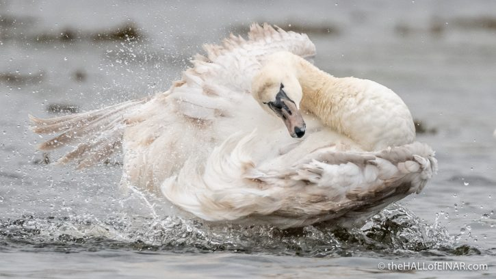 Mute Swan - River Teign - The Hall of Einar - photograph (c) David Bailey (not the)