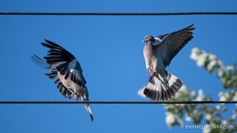 Wood Pigeons - The Hall of Einar - photograph (c) David Bailey (not the)