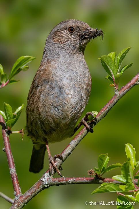 Dunnock - The Hall of Einar - photograph (c) David Bailey (not the)