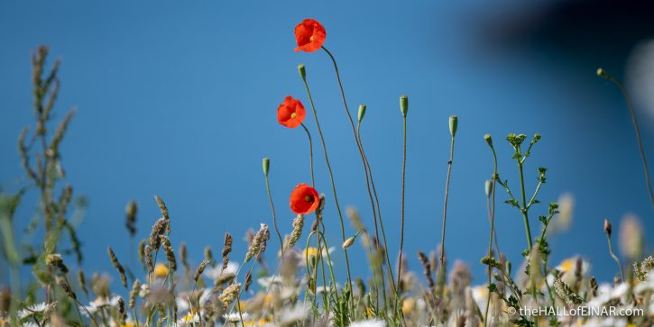 Poppies - The Hall of Einar - photograph (c) David Bailey (not the)