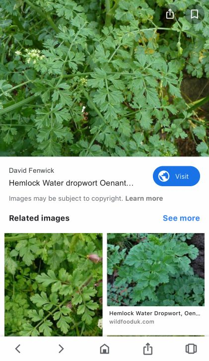Hemlock Water Dropwort