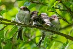 Long-Tailed Tits - The Hall of Einar - photograph (c) David Bailey (not the)