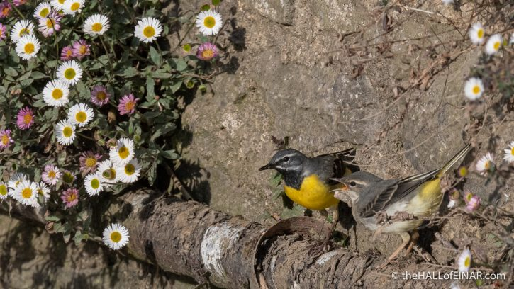 Grey Wagtail - The Hall of Einar - photograph (c) David Bailey (not the)