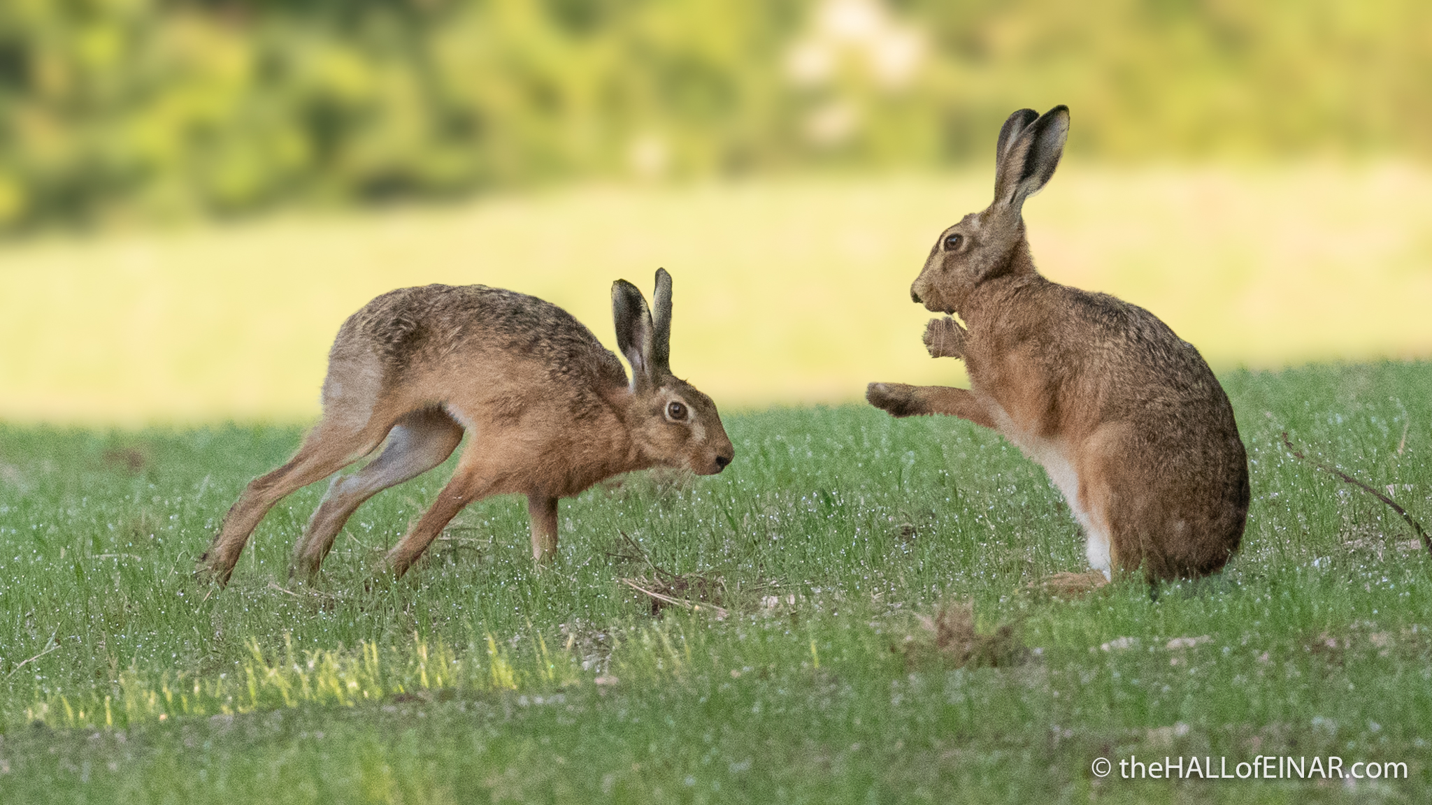 Hares - The Hall of Einar - photograph (c) David Bailey (not the)