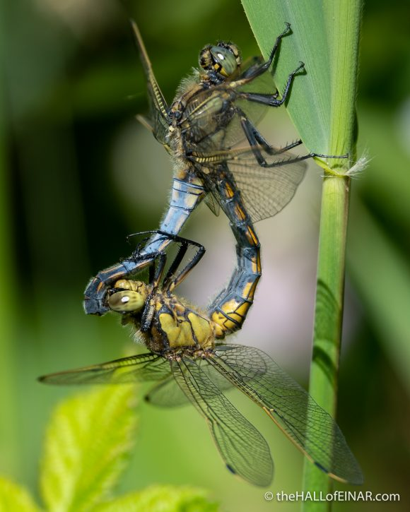 Black Tailed Skimmers - The Hall of Einar - photograph (c) David Bailey (not the)
