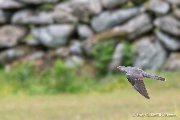Cuckoo - Emsworthy Mire - The Hall of Einar - photograph (c) David Bailey (not the)