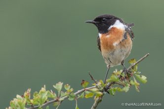 Stonechat - Emsworthy Mire - The Hall of Einar - photograph (c) David Bailey (not the)