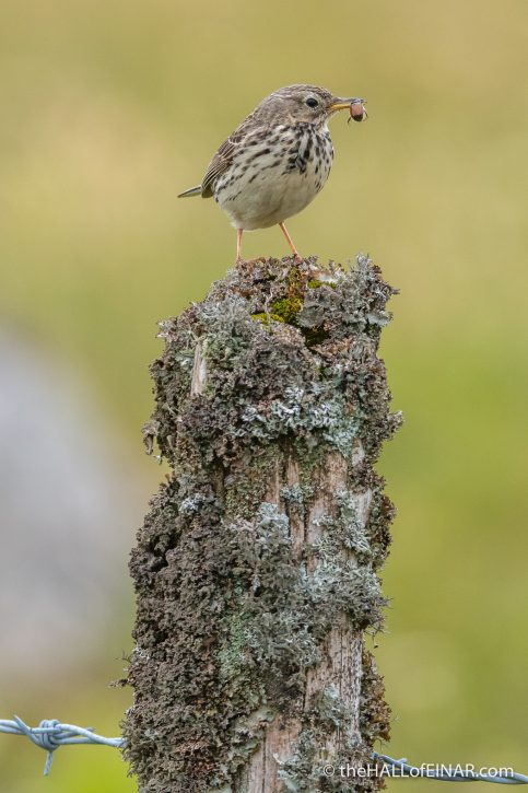 Meadow Pipit - Emsworthy Mire - The Hall of Einar - photograph (c) David Bailey (not the)