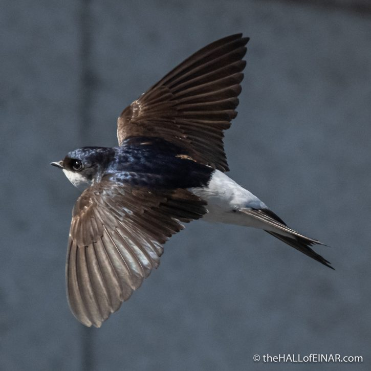 House Martin - The Hall of Einar - photograph (c) David Bailey (not the)