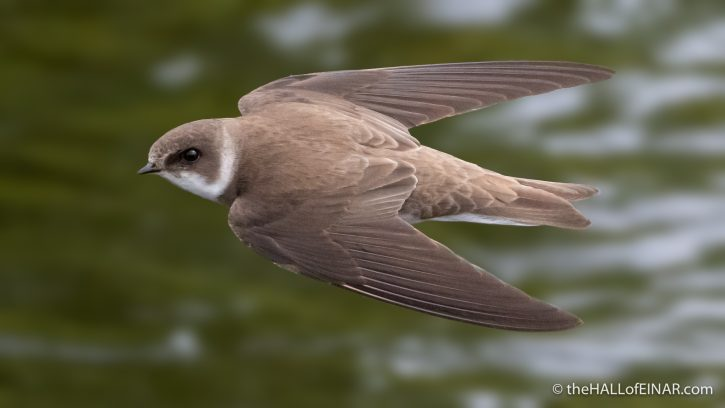 Sand Martin - The Hall of Einar - photograph (c) David Bailey (not the)