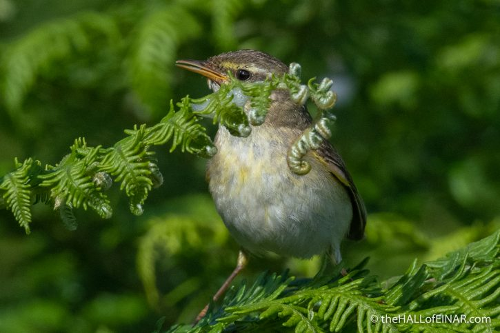 Willow Warbler - Emsworthy Mire - The Hall of Einar - photograph (c) David Bailey (not the)