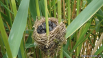 Reed Warblers' Nest - The Hall of Einar - photograph (c) David Bailey (not the)