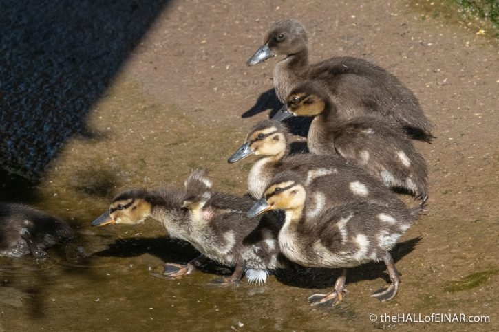 Mallard Ducklings - The Hall of Einar - photograph (c) David Bailey (not the)