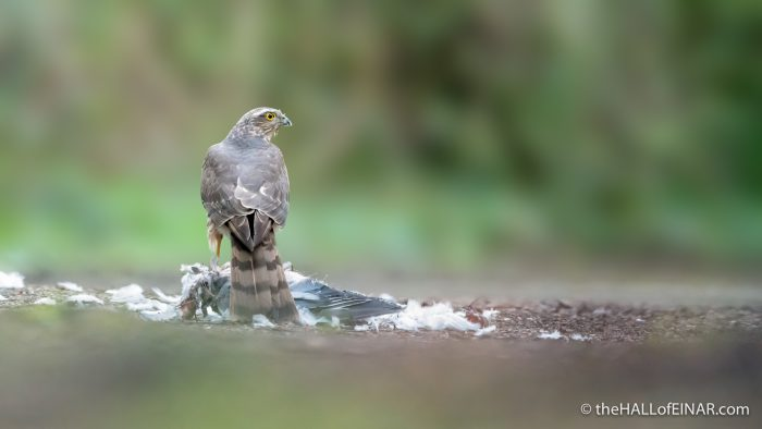 Sparrowhawk - The Hall of Einar - photograph (c) David Bailey (not the)