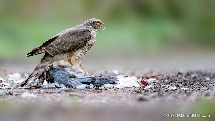 Sparrowhawk - The Hall of Einar - photograph (c) David Bailey (not the)