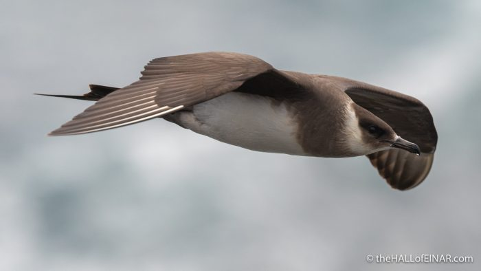 Arctic Skua - Westray - The Hall of Einar - photograph (c) David Bailey (not the)