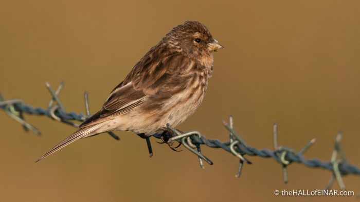 Twite - Westray - The Hall of Einar - photograph (c) David Bailey (not the)