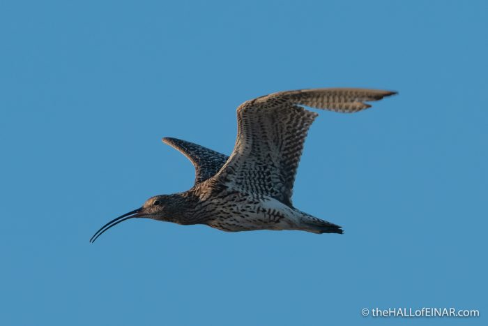 Curlew - Westray - The Hall of Einar - photograph (c) David Bailey (not the)