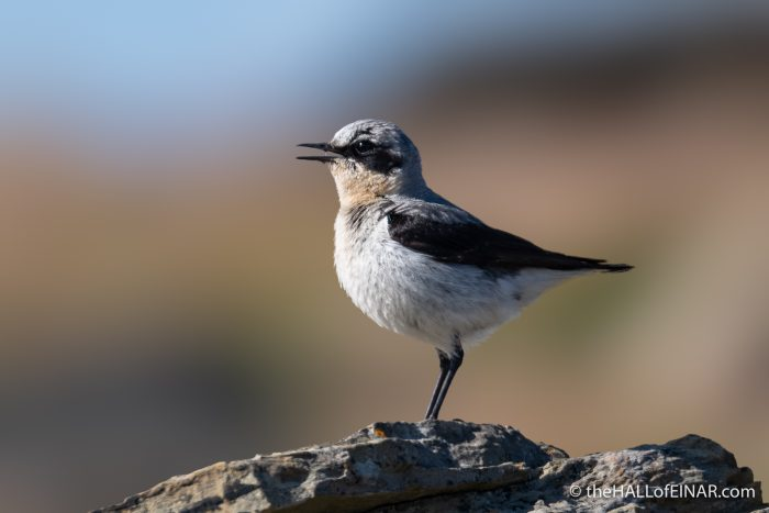 Northern Wheatear - Westray - The Hall of Einar - photograph (c) David Bailey (not the)