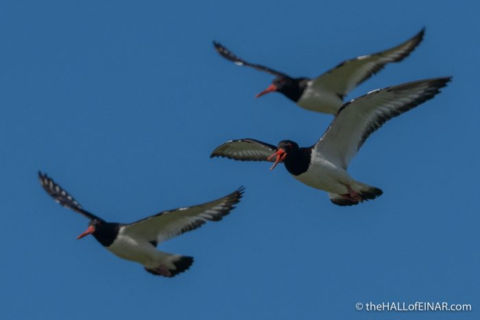 Oystercatchers - Westray - The Hall of Einar - photograph (c) David Bailey (not the)