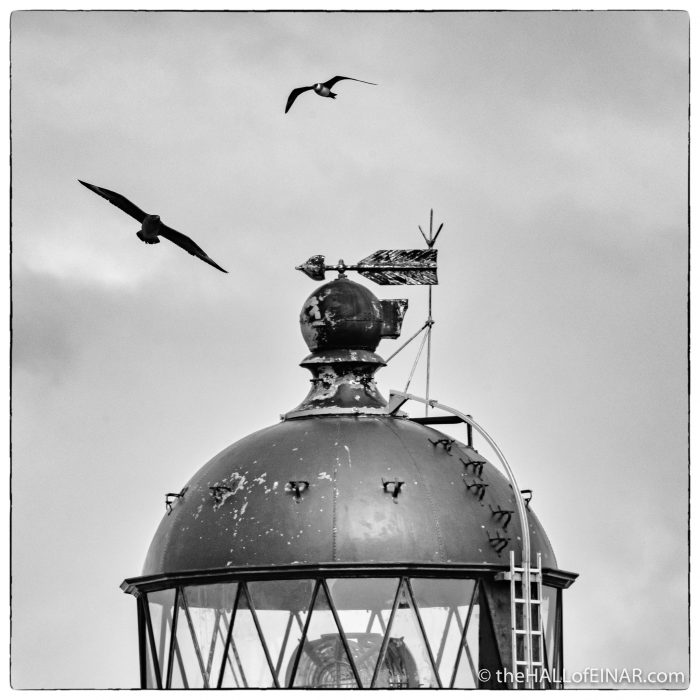 Arctic Skua and Great Skua at Noup Head Lighthouse - Westray - The Hall of Einar - photograph (c) David Bailey (not the)