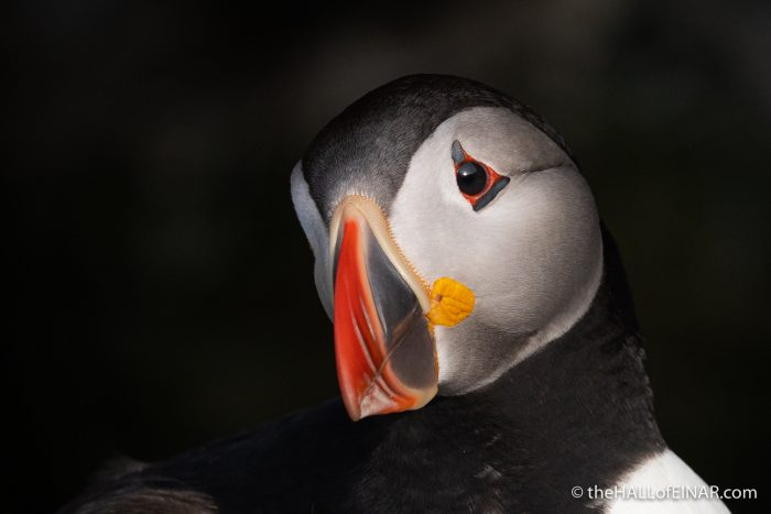 Puffin - Westray - The Hall of Einar - photograph (c) David Bailey (not the)
