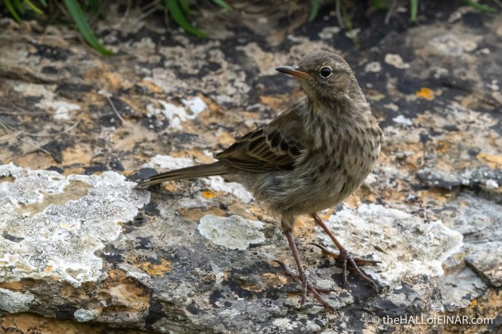 Rock Pipit - Westray - The Hall of Einar - photograph (c) David Bailey (not the)